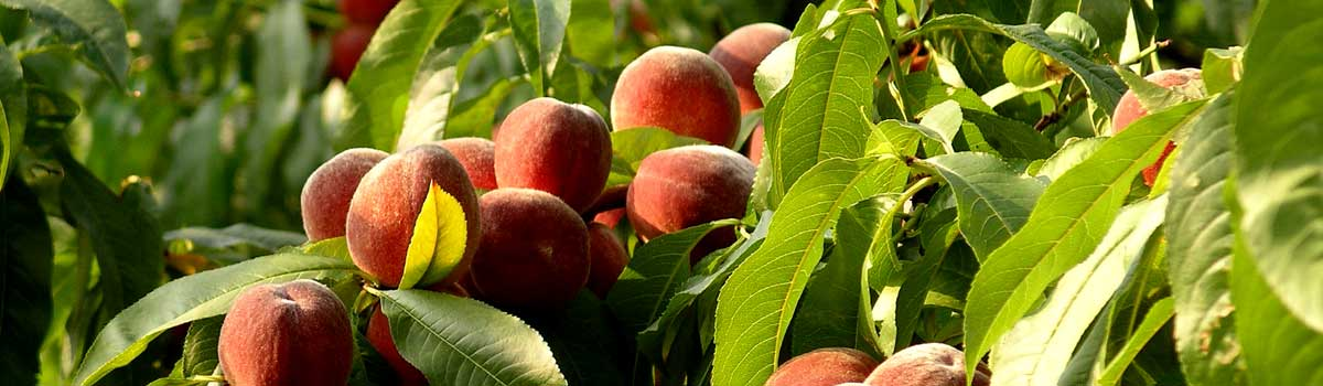 ikcaldwell-agribusiness-horticulture-peaches